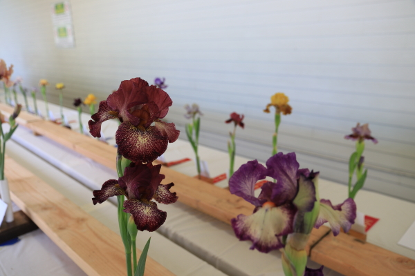 Iris Society Show on Sunday on the back porch